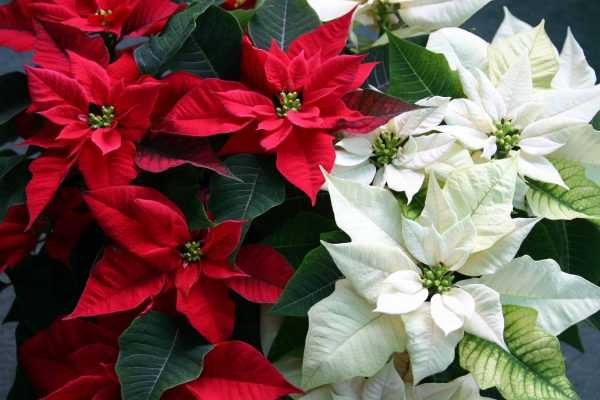 Christmas Poinsettias and Holiday Plants Sale